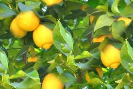 Why Creative Projects can be like Lemon Trees