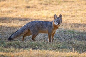 Gray Fox web
