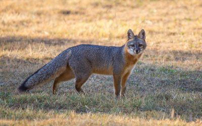 The Gray Fox